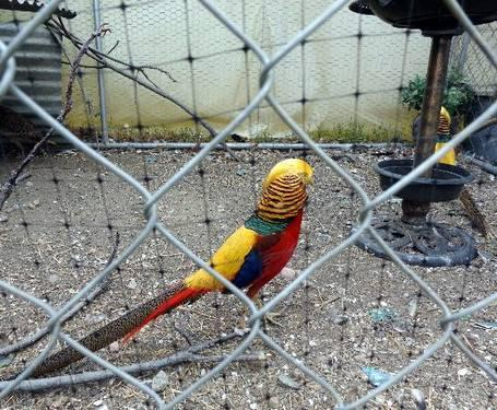 Pure Red Golden Pheasant pairs