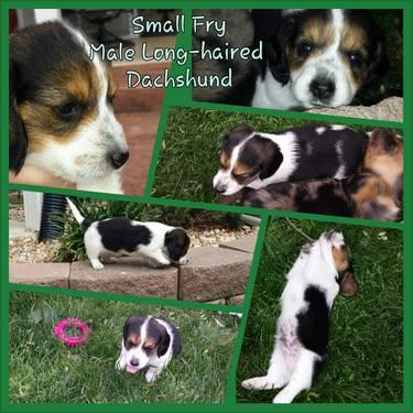 Small Fry the Long-haired Piebald Mini Dachshund Puppy for