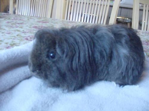Charming guinea pig