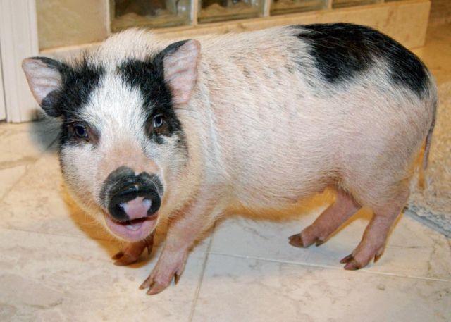 Female Micro Mini Pig for sale