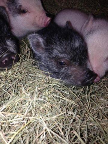 Cute Mini Piglets