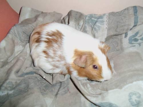 Teddies & other Guinea Pigs up for adoption