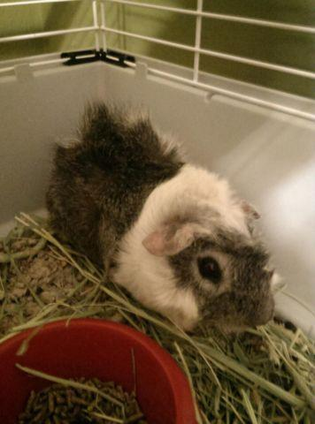 Two Young Male Guinea Pigs W/ Supplies