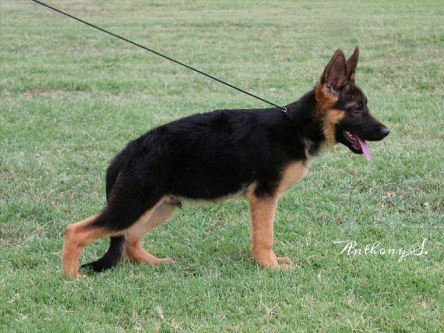German shepherd puppy Sire imported pink paper hips certified