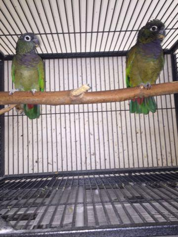 Blue head pionus $475
