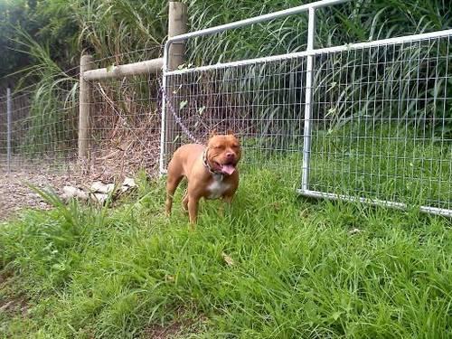 ADBA Rednose Pitbull Pups, Pit Bull Puppies