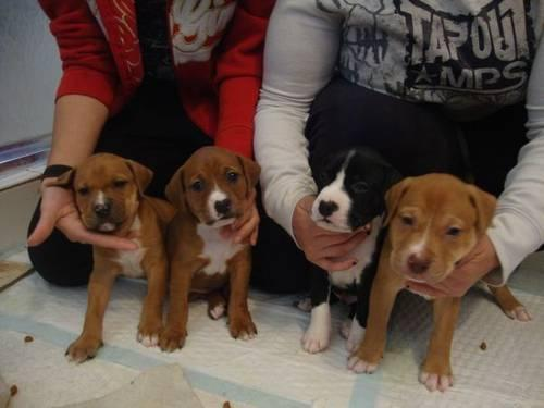... / American Pit bull Terrier Puppies in Howell, New Jersey For Sale