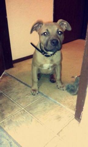 female blue nose pitbull for sale