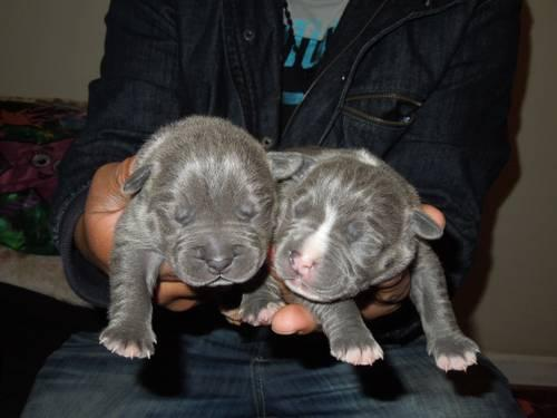 Ukc bluenose pitbull pupies