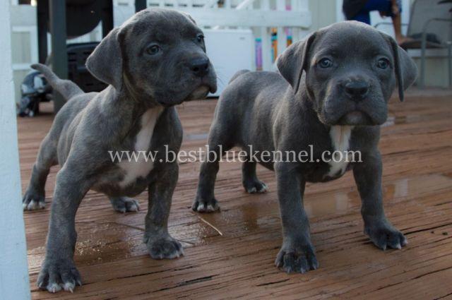 XL XXL Bully Pitbull Puppies