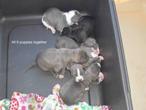Adorable Blue Pitbull Puppy For Sale In Auburn Indiana Classified