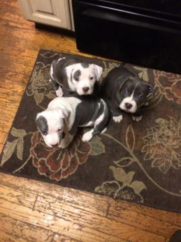 Red nose pitbull pups