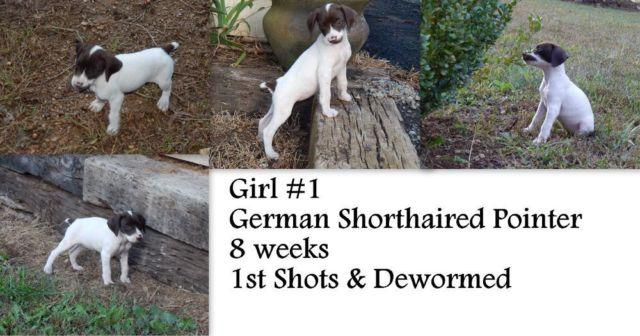 AKC German Shorthaired Pointer Puppies for Sale in Murphy
