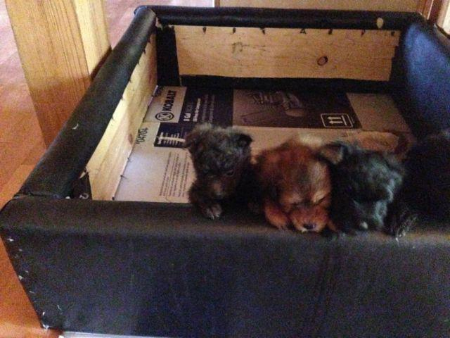 Pomapoo Puppies 4 Sale (pom a poo) for Sale in Cardington