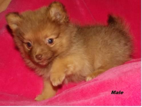 Pomeranian for sale in portland oregon