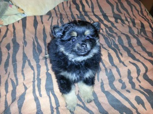 Black and tan Pomeranian for sale