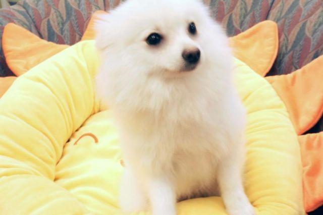 Cute White Pomeranian girl!