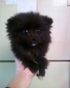 Now Reserving Pomeranian Puppies