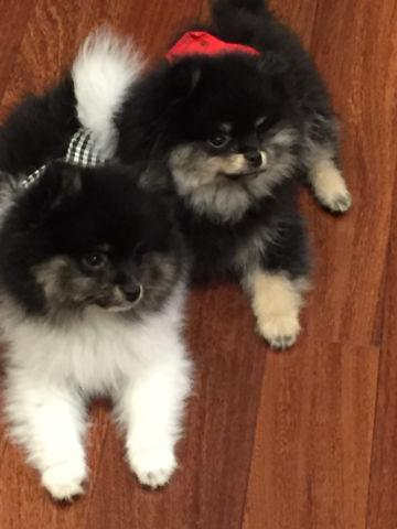 Akc Registered Pomeranian Puppies For Sale In Frederick Maryland