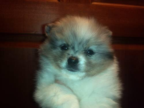 blue merle pomeranian puppies for sale akc blue merle parti pomeranian puppy for sale in 4449