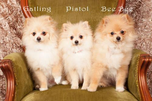 AKC Registered Female Pomeranian Puppy/Puppies