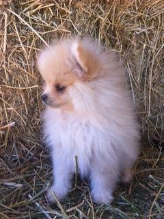 Adorable Toy Pomeranians