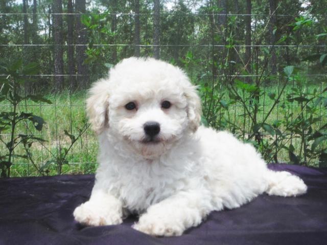 Bichon Frise Poodle Hybrid Pup - Male PooChon / Bich Poo