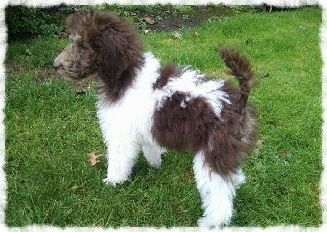 Parti Standard Poodle for Sale in Gaston, Oregon Classified