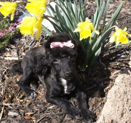 Adorable AKC Black Toy Poodle Female Puppy..!!