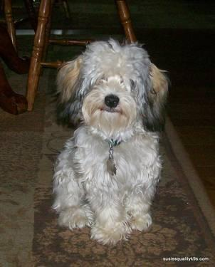 Looking for a toy poodle for stud service in Gaylord, Michigan For