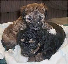 Shih Tzu / Poodle mix puppies for Sale in Enfield