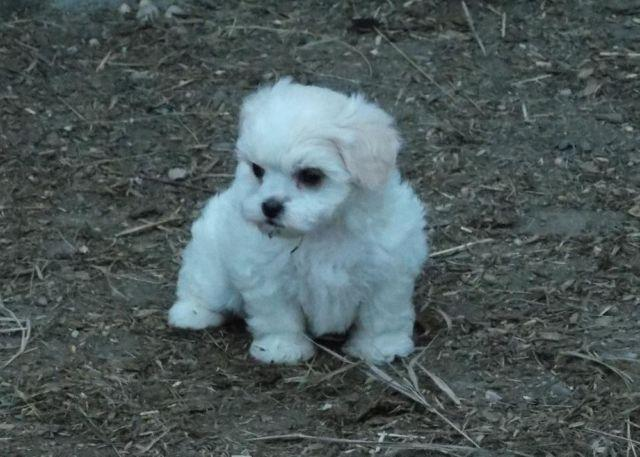 Shih-Poos (Shih-Tzu x Poodle) Puppies for Sale in Janesville