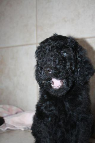 Akc Standard Poodle Puppies For Sale In Leesville
