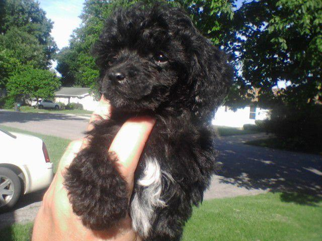 Tiny Toy Poodle Puppies For Sale In Dupo Illinois