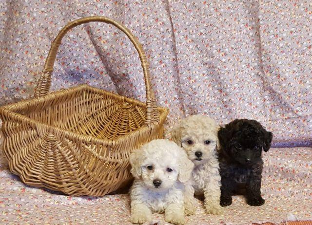 Baby Doll Toy Poodle Puppies For Sale In Richmond