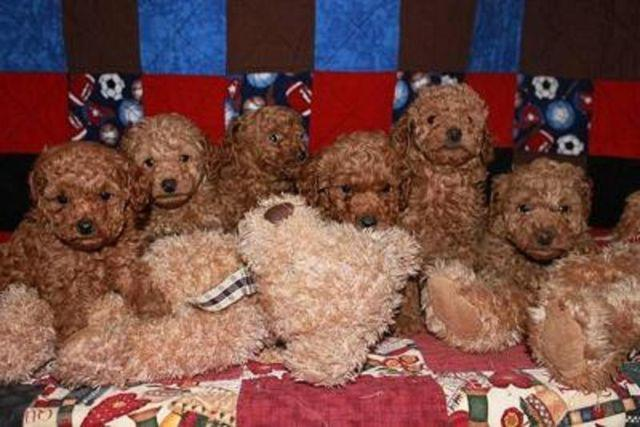 AKC Red Miniature Poodle Puppies..!! Rare..!!