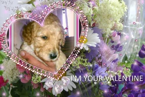 SNUGGLE YOUR VALENTINE!! AKC STANDARD POODLE PUPPIES READY NOW!!!!