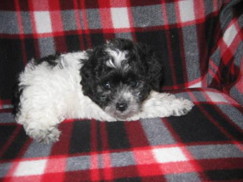 CKC Toy Poodle Puppy