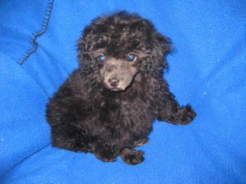 CKC Toy Poodle Puppy