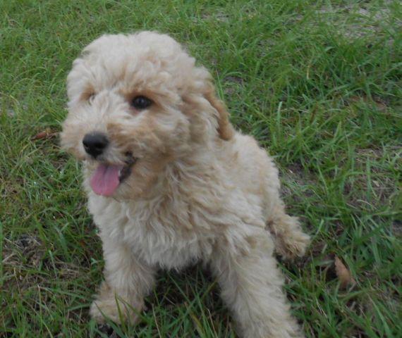 beautiful miniature poodle puppy
