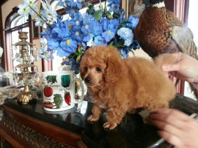 AKC Tiny Red Toy Poodle Puppy Male