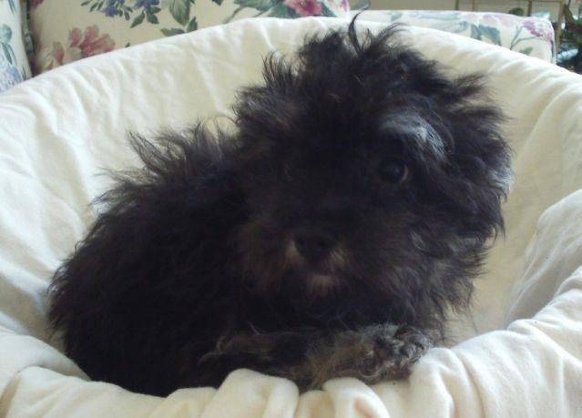POODLE HAVANESE HAVAPOO POOVANESE FEMALE for Sale in