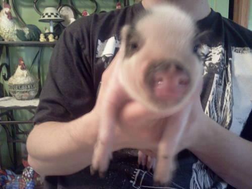 Miniature pig potbelly pig