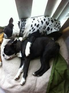 2 BOSTON TERRIER PUPPIES price is for both!!