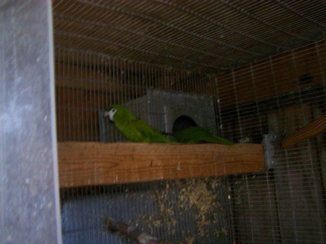 Hahns Macaw Proven Pair for Sale in Hayward, California