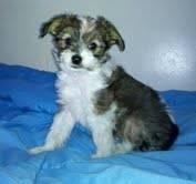 Chinese Crested Male Powder Puff Puppy ready now