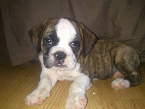 Male Puggle/Bulldog (