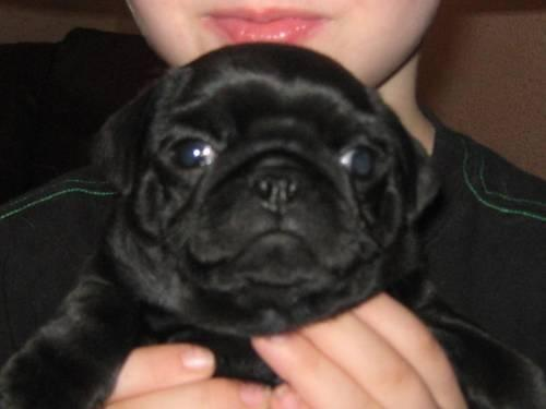 Black Male Pug Puppy for Sale in Bedford, Virginia