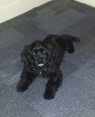 Cocker Spaniel Pup For Sale In Parkersburg West Virginia Classified