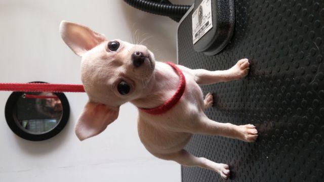 AKC Bullmastiff pup